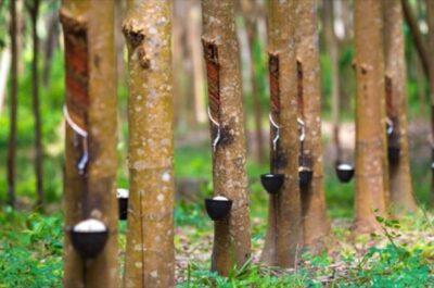 rubbertrees